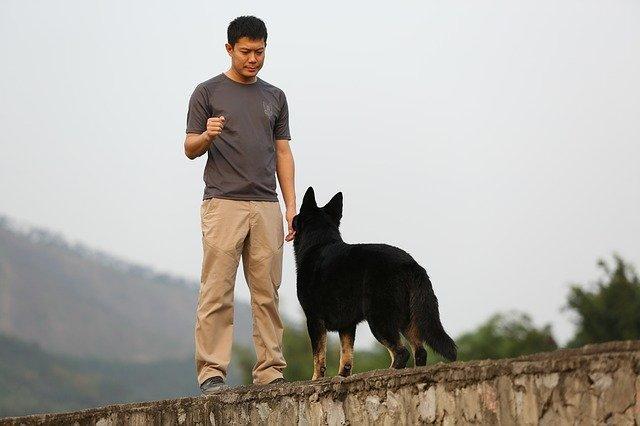 איך לאמן את הכלב שלך לבוא אליך במצבי חירום - כלב מסוג זאב באימון עם מאלף כלבים