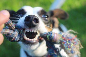 איך לאמן את הכלב שלך לשחרר חפץ - כלב מושך צעצוע