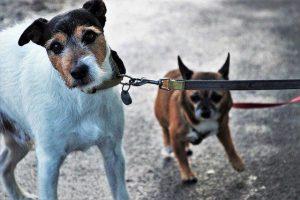 לאלף את כלבך ללכת ברצועה רופפת - תמונה של כלב מושך את הרצועה