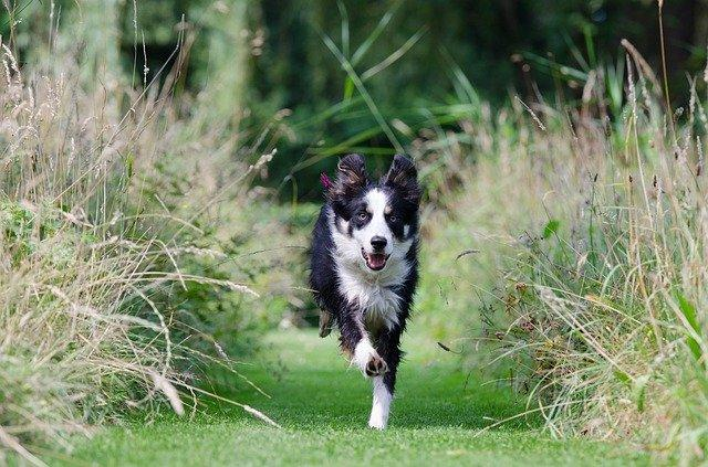 לאמן את הכלב שלך לבוא אליך - בורדר קולי רץ על הדשא