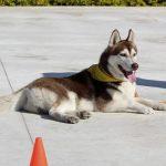איך ללמד כלב לשכב - כלבהאסקי שוכב באימון