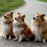 אילוף כלבים לחכות במקום - כלבים ממתינים לפקודה