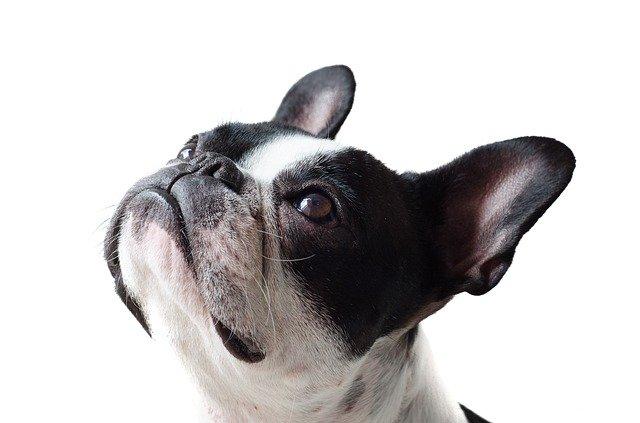 אילוף כלבים קטנים - תמונת פרופיל של כלב קטן